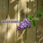 Lilac against Wooden Fence